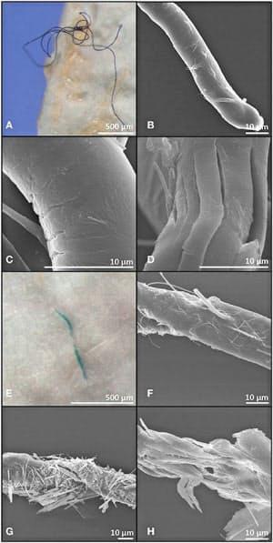 深海魚の体内から見つかった繊維状のマイクロプラスチック(アイルランド国立大提供)=共同