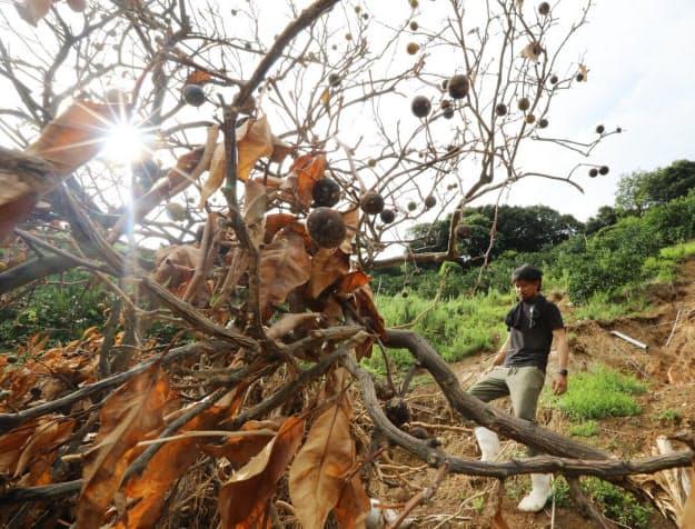 豪雨で斜面が崩壊したミカン畑。農家の河野雄哉さん(33)は「流された果樹の被害だけでなく、散水の設備などが壊れ、残った木の手入れができない。被害は広がる」と悔しそうな表情を浮かべた(7月30日、愛媛県宇和島市)