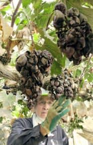 西日本豪雨による浸水被害で腐敗したブドウの房を見つめるブドウ農家武本堅さん=7月22日、岡山県倉敷市真備町地区
