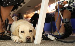 目が不自由な小山恵美子さんの大切なパートナー、盲導犬のサマンサ。会議が終わるのを足元で待つ(東京都港区)=今井拓也撮影