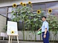 京都・川端署で大輪の花を咲かせたヒマワリと西田勝志副署長(9日)=共同