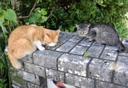 鹿児島県奄美市のネコ(7月)=共同