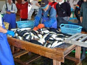 フグの生息域が北上し、東北地方でも漁獲が多くなった(山形県鶴岡市)
