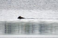 北海道根室市と別海町にまたがる風蓮湖を泳ぐヒグマ(8月14日、浜屋ルミ子さん提供)=共同