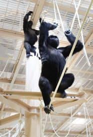 ゴリラの屋内展示室にはポールやロープを設置し、木の上での生活を再現した