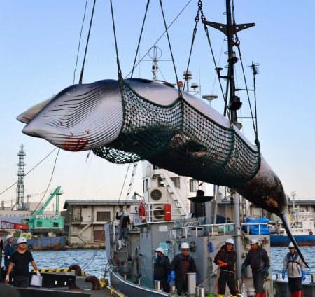 調査捕鯨で北海道・釧路港に水揚げされたミンククジラ(2017年9月)=共同