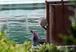 水族館閉館後も屋外プールに残るバンドウイルカのハニー(8月、千葉県銚子市)=動物保護団体「PEACE」提供、共同