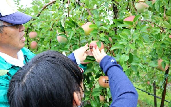 参加者は草刈さんに贈るリンゴに六文銭柄のシールを貼った(15日、上田市のリンゴ畑)
