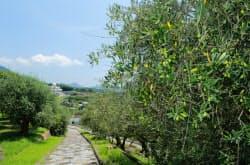 オリーブ畑が広がる「道の駅小豆島オリーブ公園」(香川県小豆島町)