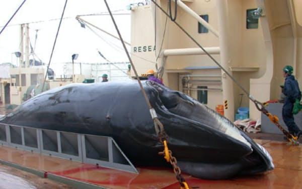 南極のミンククジラは豊富な資源量が確認されている(日本鯨類研究所提供)