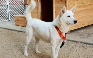 勇敢、敏しょうな性格で北朝鮮では狩猟犬として飼われる豊山犬=韓国大統領府提供