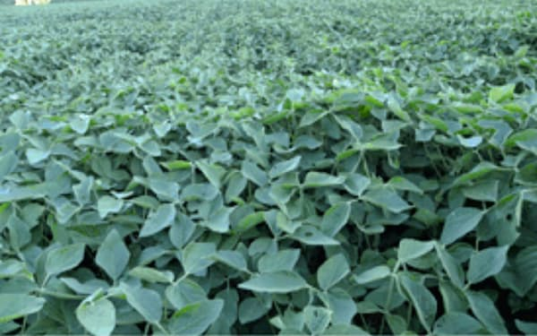 貿易戦争や豊作の影響で米国産大豆の割安感が強まった(米セントルイスの大豆畑)