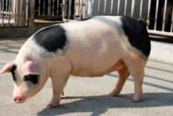 おいしさが科学的に裏付けられたアグーブランド豚(沖縄県畜産研究センター提供)