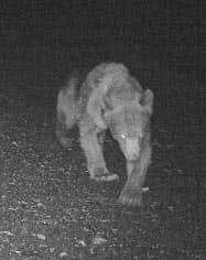 6月、北海道・利尻島の林道に設置した無人カメラが撮影したヒグマの姿(北海道宗谷総合振興局提供)=共同