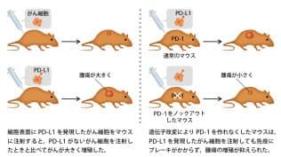 本庶氏らががん免疫治療薬の実用化に乗り出すきっかけとなったマウスの実験の内容(日経サイエンス提供)