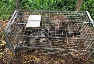 兵庫県尼崎市内で捕獲されたアライグマ