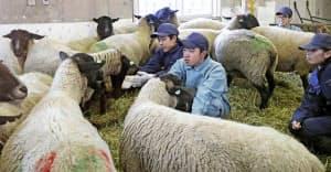 遠別農業高で飼育する羊の体調を確かめる生徒たち(19日、北海道遠別町)=共同