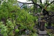 旧真田山陸軍墓地は9月の台風21号の影響で墓石が倒壊したり、倒木したりした=真田山陸軍墓地維持会提供