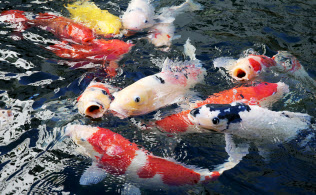色も様々なニシキゴイが勢いよく泳いでいます