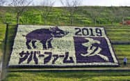 大阪府富田林市の農業公園サバーファームにお目見えしたイノシシの巨大な花絵=共同