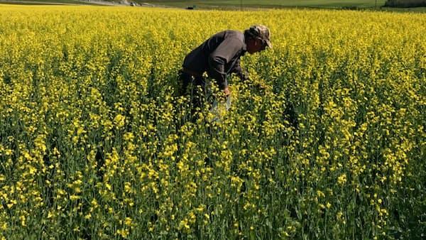 菜種、安値に潜むリスクの種 米中摩擦で代替需要も