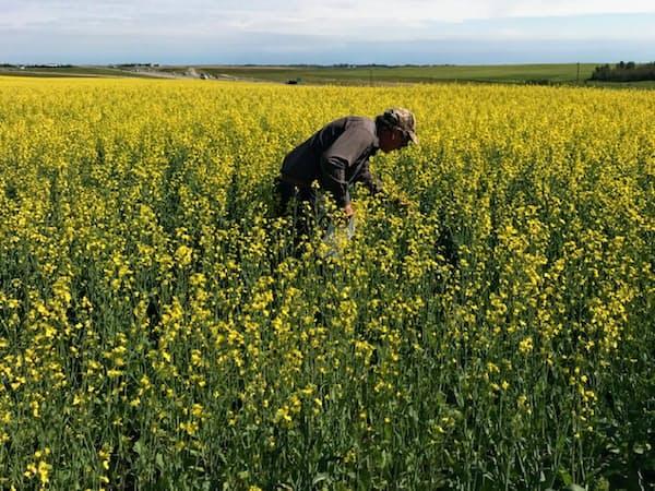 カナダ産菜種の生産量は天候不順で減る見通し(カナダの菜の花畑)