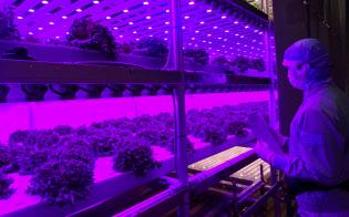 セブンイレブン向けの植物工場ではレタスを1日最大3トン生産できる(相模原市)