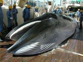 政府は国際捕鯨委員会(IWC)からの脱退を決定した=日本鯨類研究所提供