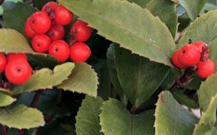 赤い実が際立つ新春のセンリョウ