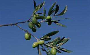イタリア産オリーブ油は2年ぶりの減産となる見込み(イタリア産地のオリーブの実)