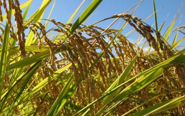 新潟産米の作況指数は18年産は14年ぶりの低水準