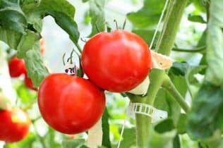「ゲノム編集」技術で品種改良したトマト(筑波大学の江面浩教授提供)