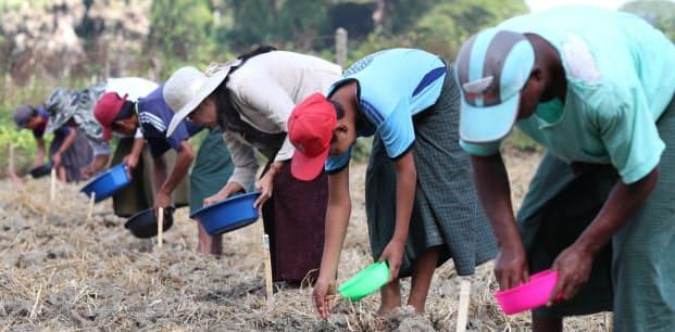 等間隔に並び、マメの優良種子を植え付ける人たち。大和農園は病気に強く発芽率が高い種子を生産する。収穫が増え、農家の収入増が期待される(バゴー管区)