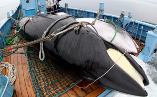 IWC脱退で調査捕鯨もできなくなる