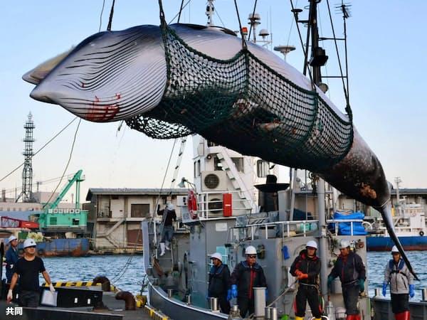 調査捕鯨で北海道の釧路港に水揚げされたミンククジラ(2017年9月、共同)