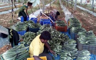 インドでは虫食いや病害で農作物の生産高の4割近くが廃棄に回るとされる(南部カルナタカ州)