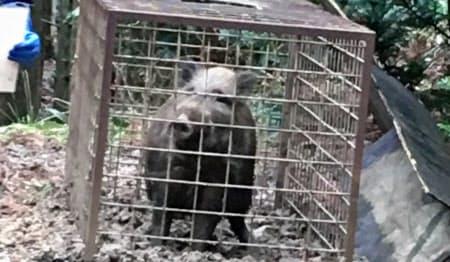捕獲されたイノシシ。農家などにとって獣害被害は深刻だ