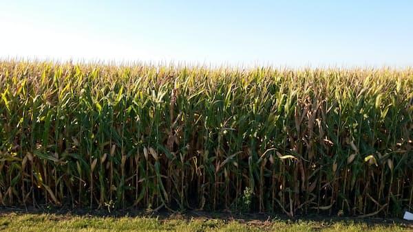 トウモロコシ市場が気をもむ新NAFTA