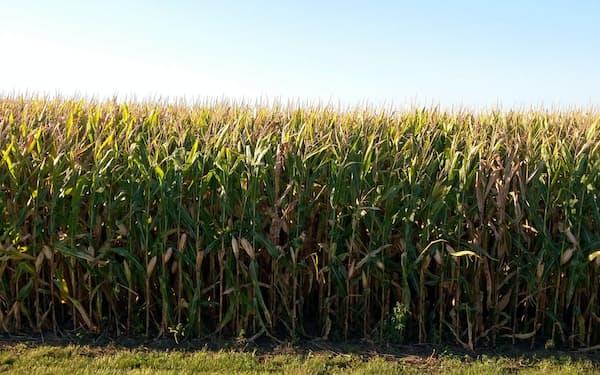 米国産トウモロコシはメキシコ向けの輸出需要が底堅い(米中西部の畑)