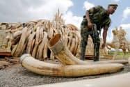 ケニアで押収された象牙(2016年4月)=ロイター