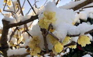 郊外に住む知人が送付してくれた雪を被った蝋梅