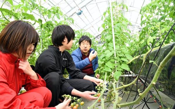 ガラスハウス内でトマトを栽培する新潟食料農業大の学生ら(新潟県胎内市、1月24日)