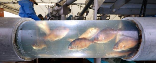 いけすから水ごと移送されるマダイの養殖稚魚。AIを使ったシステムで解析、作業に適した量をベルトコンベヤーに流す(和歌山県白浜町)