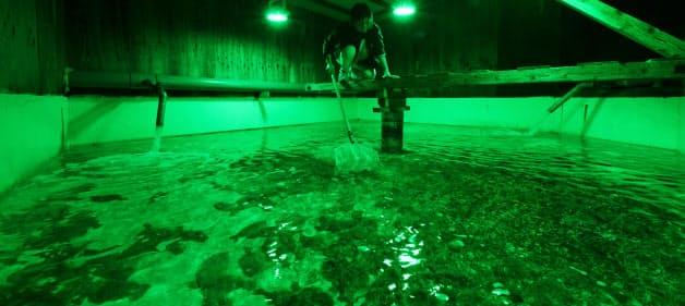 緑色のLED光を照射し、ヒラメの成長を促す(大分県津久見市)