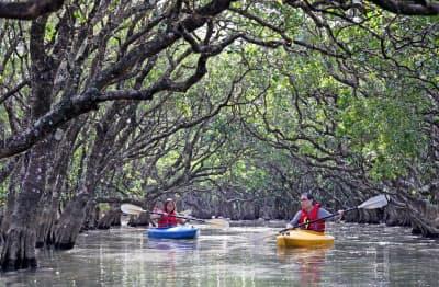 カヌーに乗ってマングローブ林を観察する人たち(鹿児島県奄美市)