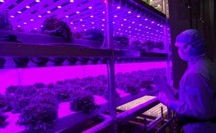 収穫が始まったセブンイレブン向けの植物工場(相模原市)