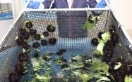 青森県むつ市の大畑町漁協で養殖されているウニ=共同