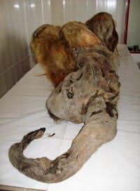 雌のマンモス「YUKA(ユカ)」の化石(近畿大提供)=共同