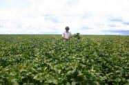 ブラジルは天候不順で収量が下方修正された(ブラジル・マットグロソ州の大豆畑)