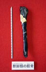 徳島県勝浦町の地層から見つかった獣脚類の左すねの骨の化石(11日午後、徳島市)=共同